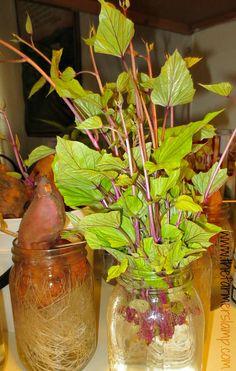 Starting, Growing, and Planting Sweet Potato Slips Sprouting Sweet Potatoes, Growing Sweet Potatoes, Potato Gardening, Container Gardening Vegetables, Veg Garden, Edible Garden, Growing Veggies, Growing Plants, Sweet Potato Slips