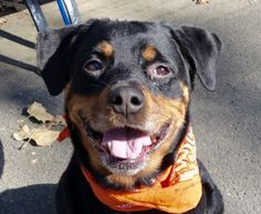 Manhattan center JOHNNY BRAVO – A1093620  **SAFER : EXPERIENCED HOME**  MALE, BLACK / TAN, ROTTWEILER MIX, 5 yrs STRAY – STRAY WAIT, NO HOLD Reason STRAY Intake condition UNSPECIFIE Intake Date 10/16/2016, From NY 10468, DueOut Date 10/19/2016,