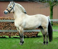Fjord stallion, Cadeau Halsnæs. The website translation did not make it clear to me what his color is. My best guess is a dark buckskin dun; called white dun or ulsblaak.