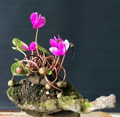natureart-bonsai: Whats about Cyclamen for Kusamono