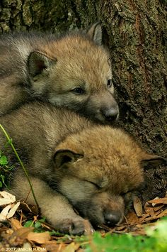 White Wolf : 15 Pictures Show The Cutest Animal On Earth : Baby Wolves