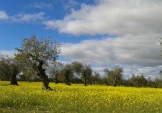 Santo Domingo olive grove