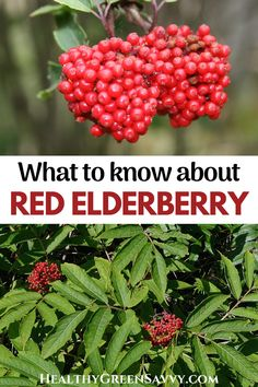 If you're one of the many people who've wondered whether you can eat red elderberries, this post is for you! Find out what you need to know about red berried elder (aka Sambucus racemosa). #elderberry #redelderberry #foraging #redberriedelder Elderberry Varieties, Elderberry Flower, Elderberry Plant, Herbal Remedies, Natural Remedies, Healing Herbs, Medicinal Herbs, Home Medicine