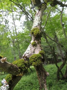 Ironwood branch covered in moss lichen and fungi  #plant #ironwood #branch #covered #moss #lichen #fungi #photography
