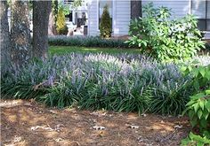Fantastic Plants – Saving the World One Garden at a Time! Monkey Grass, Liriope Muscari, First World, Farms, Landscaping, Garden, Happy, Plants, Homesteads