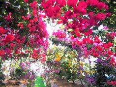 Kagoshima, Bougainvillea, Japanese Culture, Nature, Flowers, Plants, Naturaleza, Florals, Plant