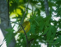 Yellow Warbler (Dendroica petechia) - Yellow Warblers | Show Me Nature Photography