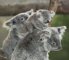 Koalas (by San Diego Zoo Global)