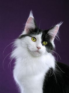 Maine Coon: Black and White Maine Coon Cat