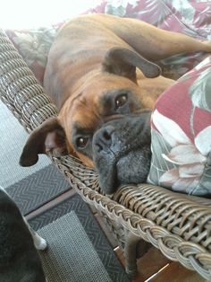 Sweet Boxer Indy Roo