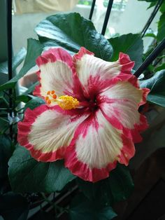Hibiscus Plant, Hibiscus Flowers, Exotic Flowers, Tropical Flowers, Amazing Flowers, Beautiful Flowers, Frosted Lipstick, Rose Of Sharon, Tropical Garden