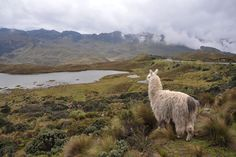 13,000 feet up in the Andes Mountains, a llama looks out over the landscape.