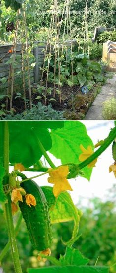 List Of Vegetables That Can Grow On A Trellis Instead Of Trailing On The Ground...cukes and butternut squash will be a definite.