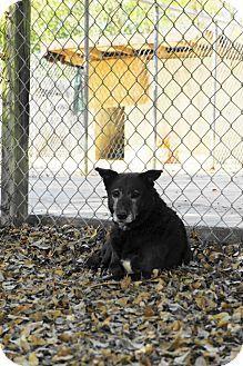 Key Biscayne, FL: ADOPT Midnight a SENIOR, spayed female, Retriever dog - at shelter a LONG time! See her on Adopt-a-Pet.com http://www.adoptapet.com/pet/6657556-key-biscayne-florida-retriever-unknown-type-mix