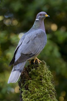 Band-tailed Pigeon - Band-tailed Pigeon perched on a mossy perch.Band-tailed Pigeons are North Americas largest native pigeon.