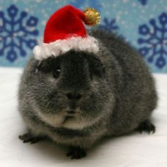 cute guinea pigs | Cute christmas guinea pigs pictures 3