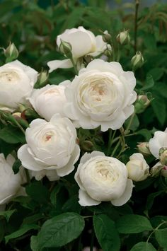 RP: David Austin English Rose 'Claire Austin'  This imposing scent has the aromatic, licorice warmth of sweet anise.
