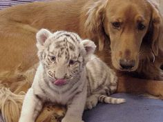 sanctuary tiger - now that's a good dog :)