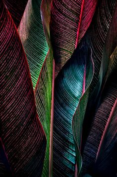 Canna leaves. Do love these plants