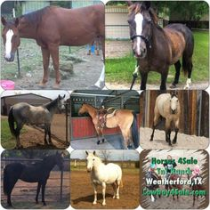Any of these riding horses for sale your choice $2300 each - need more then 1 - let's make a deal! All on website www.Cowboy4Sale.com call or text 254-433-0806