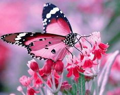 Types of Butterflies - Butterflies are one of the most adored insects for their enchanted beauty and representation of good luck and positive change. Butterfly Kisses, Butterfly Flowers, Butterfly Wings, Pink Flowers, Butterfly Chrysalis, Butterfly Species, Butterfly Canvas, Butterfly Costume, White Butterfly