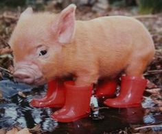 tea cup pig.