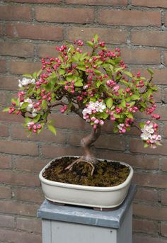 bonsai apple malus