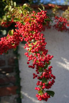 Plant of the week no. 44. Pyracantha laden down with berries. Ideal as hedges or free-standing bushes, Pyracantha berries are apperciated by wild birds; we make jelly from them when the birds leave any.  Yellow varieties include Soliel d'Or, Golden Charmer and Teton which is resistant to Fireblight and Scab diseases. Red-berried Apache and  the following have been bred for the same strengths: 'Fiery Cascade', Mohave, 'Navaho', 'Pueblo' Pyracantha 'Rutgers' and 'Shawnee' .