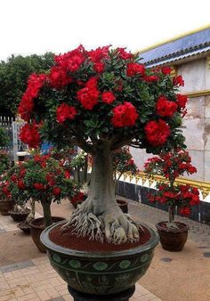 This Exotic Bonsai Has 2 Peculiarities: First, Look at the Intrincate Roots and Now Observe The Blooming Little Groups of Blood Red Flowers.