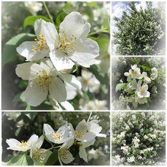 Hur mycket jag än försöker njuta av detta vackra - så känns det otillräckligt! #makalöst mycket #vita #blommor på min #jasminbuske i år #tack till #minälskademan som låtit bli att #formklippa den #schersmin #jasmine #jasmin flora blomster ett #havavblommor #vackert #njuter i fulla drag #buketter i #hela huset #hemljuvahem #hemmahosmig #hemma #skönahem #myhome #minträdgård #trädgård i #sommartud #sommar #snartsemester http://misstagram.com/ipost/1550740572187974913/?code=BWFVlWQDN0B