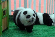 Zita De nieuwste Chinese trend: Pandahonden Nieuws Bizar
