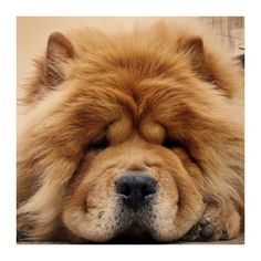 Chow Chow look at the face