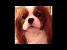 This video made me cry from laughing so hard. Seriously. This is FUNNIEST thing you'll watch today. » DogHeirs | Where Dogs Are Family « Keywords: funny, funny video, Cavalier King Charles Spaniel