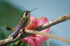 File:Speckled hummingbird (Adelomyia melanogenys).jpg - Wikimedia Commons