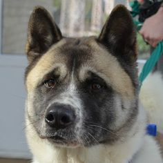 Kimmy the mellow Akita has found a lovely home thanks to the Battersea Dogs & Cats Home and now lives in Hounslow. http://www.battersea.org.uk/