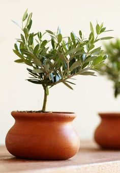 Olive Tree in Terracotta Pot <3 OMGosh this is SO cUte! {want}