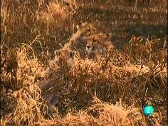 El guepardo: Sobreviviendo en la naturaleza