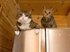 Maru and Hana hang out on top of the fridge. Just chillin'.