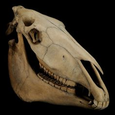 Our horse skull is part of our Object in Focus loans scheme, helping make museums accessible to other organisations: http://www.horniman.ac.uk/about/object-in-focus-loans