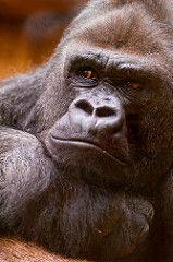 [フリー画像] 動物, 哺乳類, ヒト科, ゴリラ, 201103241100