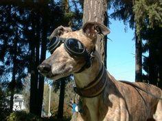 Pannus and the Greyhound