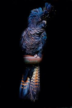 Female Red-Tailed Black Cockatoo | Flickr - Photo Sharing!