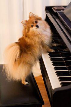 Pomeranian #piano