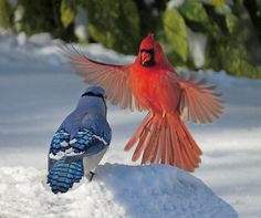 A Blue Jay and a Cardinal have a little confrontation. Both birds can be found in North America. Pretty Birds, Beautiful Birds, Animals Beautiful, Cute Animals, All Birds, Love Birds, Blue Jay Bird, Image Nature, Cardinal Birds