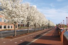 Downtown Evansville's Riverfront Esplanade is at its showiest with blooming Bradford Pear trees.