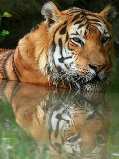 Reflections tiger