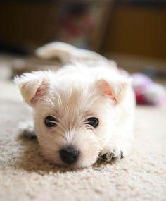 Cute Westie pup