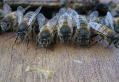 Bee girls guarding the hive ... http://www.guardian.co.uk/environment/gallery/2007/apr/30/conservationandendangeredspecies#/?picture=329794778&index=6