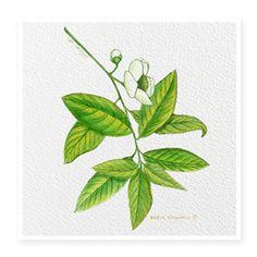 Green Tea tiene flavonoides, es desintoxicante y antioxidante