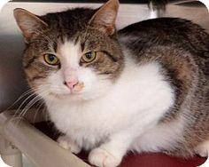 Westampton, NJ - Domestic Shorthair. Meet C-56431 Maximus **PURRFECT PERKS** a Cat for Adoption.